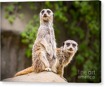Meerkat Pair Canvas Print by Jamie Pham