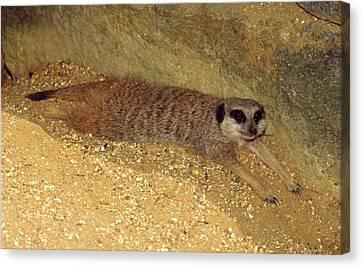 Meerkat Resting Canvas Print