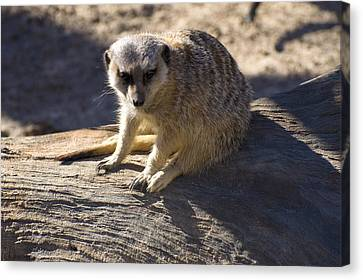 Meerkat Resting On A Rock Canvas Print by Chris Flees
