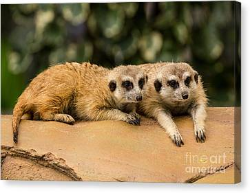 Meerkat Resting On Ground Canvas Print