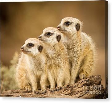 Meerkats Canvas Print by Craig Dingle