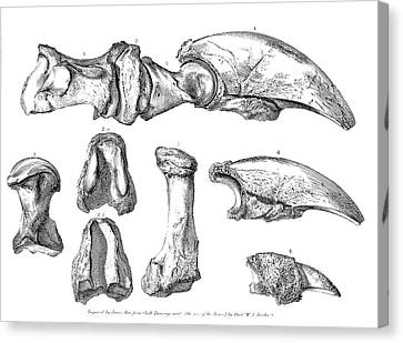 Megalonyx Jeffersonii Ground Sloth Bones Canvas Print by American Philosophical Society