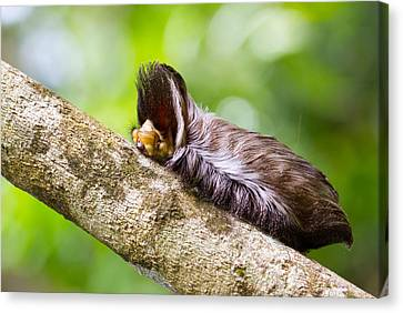 Flannel Moth Canvas Print - Megalopyge Cf. Albicollis by JP Lawrence