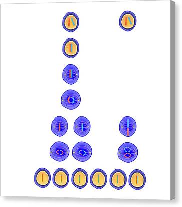 Meiosis And Mitosis Canvas Print by Science Photo Library