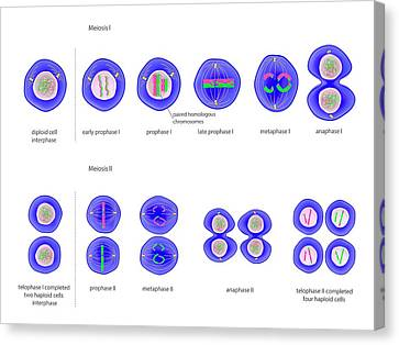 Meiosis Cell Division Canvas Print by Science Photo Library