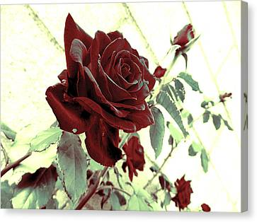 Melancholy Rose Canvas Print
