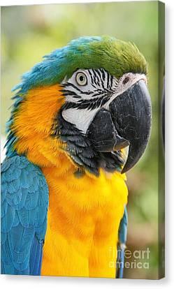 Blue And Gold Macaw Canvas Print - Mele E Manono Ia Ea Macao Tropical Birds Of Hawaii by Sharon Mau