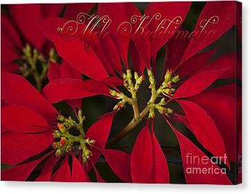 Mele Kalikimaka - Poinsettia  - Euphorbia Pulcherrima Canvas Print by Sharon Mau