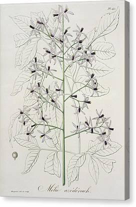 Melia Azedarach From Phytographie Canvas Print by LFJ Hoquart