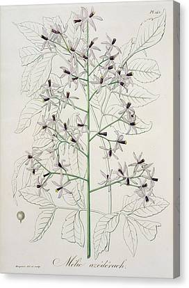 Melia Azedarach From 'phytographie Medicale' By Joseph Roques Canvas Print by L F J Hoquart
