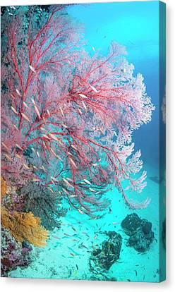 Melithaea Sea Fan Canvas Print by Georgette Douwma
