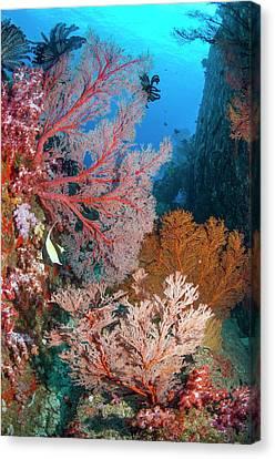 Melithaea Sea Fans Canvas Print by Georgette Douwma
