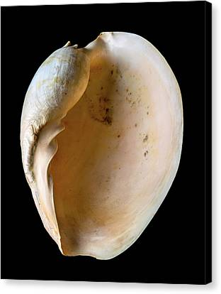 Melo Amphora Canvas Print by Natural History Museum, London