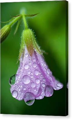 Macro Geranium Flower Canvas Print - Memories Of Rain by Jenny Rainbow