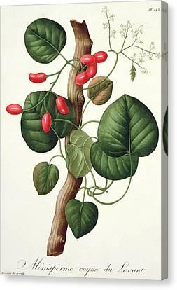 Menispermum Canvas Print