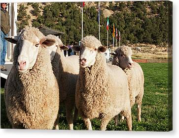 Merino Sheep, Flags In Background Canvas Print by Piperanne Worcester