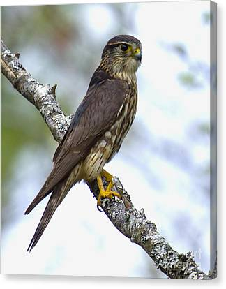 Merlin Falcon Canvas Print