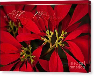 Merry Christmas - Poinsettia  - Euphorbia Pulcherrima Canvas Print by Sharon Mau