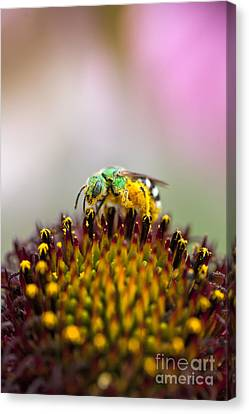 Metallic Green Bee Macro On A Coneflower Canvas Print by Brandon Alms