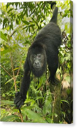 Mexican Black Howler Monkey Belize Canvas Print by Kevin Schafer