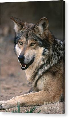Mexican Gray Wolf Canvas Print by Art Wolfe
