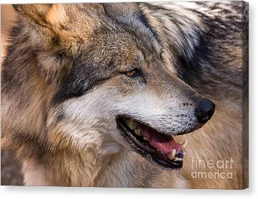 Canvas Print featuring the photograph Mexican Gray Wolf by Chris Scroggins