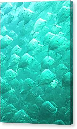 Mexican Lookdown Shoal Canvas Print by Christopher Swann