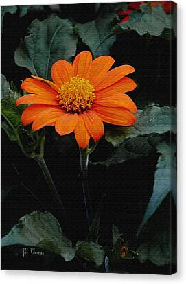 Canvas Print featuring the photograph Mexican Sunflower by James C Thomas