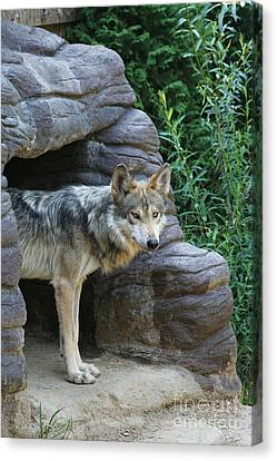 Mexican Wolf #2 Canvas Print