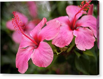 Mexico, Cozumel, Hibiscus Canvas Print by Jim Engelbrecht