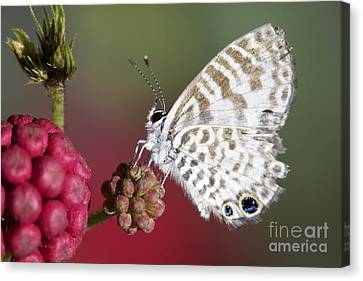 Miami Blue Butterfly I Canvas Print by Pamela Gail Torres