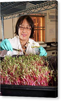 Microgreen Nutrient Research Canvas Print by Peggy Greb/us Department Of Agriculture