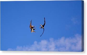 Mid Air Mating Dance Canvas Print