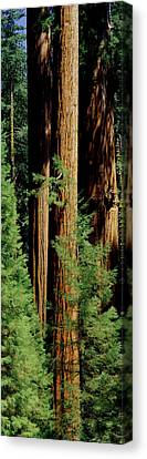 Giant Sequoia Canvas Print - Mid Section Of Giant Sequoia Trees by Greg Probst
