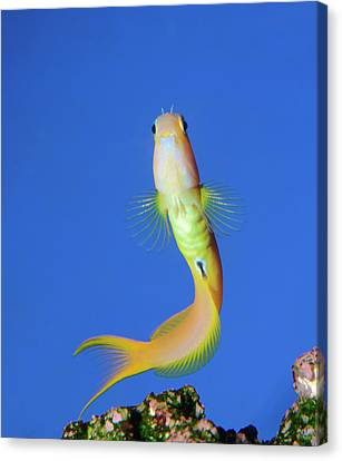 Midas Blenny Canvas Print