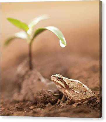 Middle East Tree Frog Canvas Print by Photostock-israel