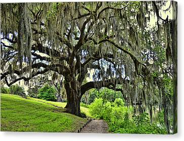 Middleton Place Oak  Canvas Print by Allen Beatty