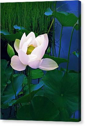 Midnight Lotus Canvas Print