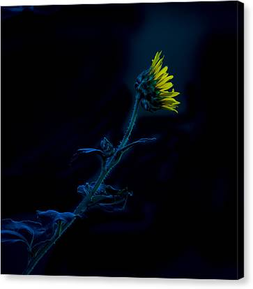 Canvas Print featuring the photograph Midnight Sunflower by Darryl Dalton
