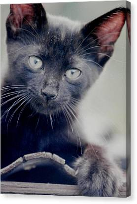 Midnight The Redneck Cat Canvas Print