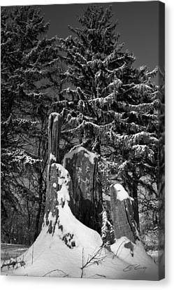Canvas Print featuring the photograph Midwest Sequoia by Ed Cilley