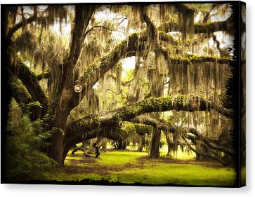 Mighty Live Oak Canvas Print by Barbara Northrup