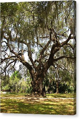 Canvas Print featuring the photograph Mighty Oak by Beth Vincent