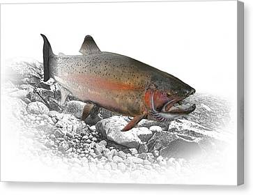 Migrating Steelhead Rainbow Trout Canvas Print