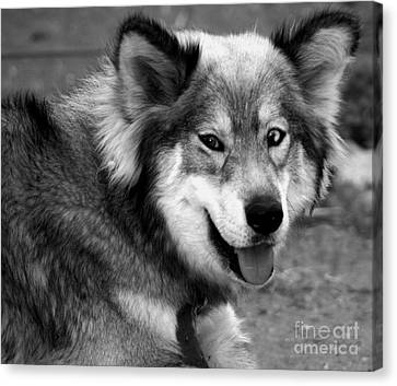 Miley The Husky With Blue And Brown Eyes - Black And White Canvas Print by Doc Braham