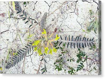 Milkvetch (astragalus Caprinus Laniger) Canvas Print by Bob Gibbons
