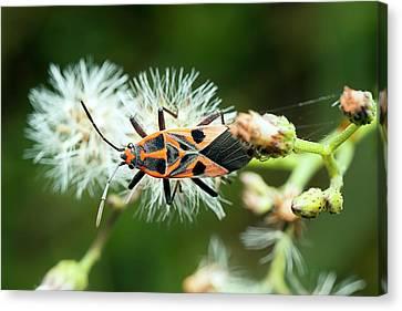 Milkweed Bug Canvas Print by Pan Xunbin