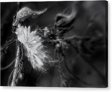 Milkweed Canvas Print by Louise Kumpf
