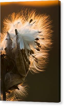 Milkweed Seed Pod Canvas Print by Adam Romanowicz