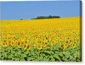Millions Of Sunflowers Canvas Print